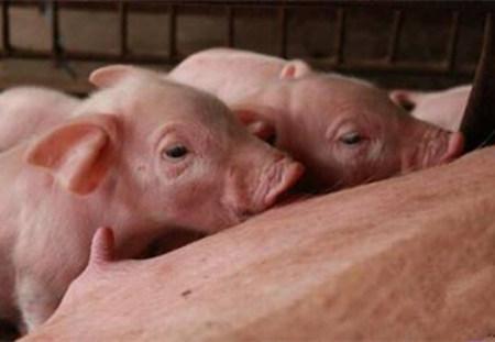 产房中仔猪应该如何护理?
