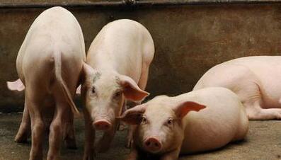 """目前猪价涨势明显,本轮上涨可以延续到""""五一""""吗?"""