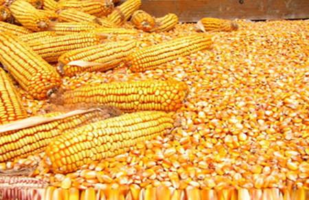 玉米价格回升之际 吉林给予部分饲料企业120元补贴