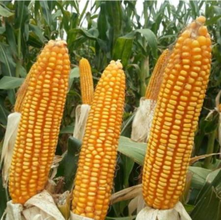 买还是不买?当下一波国产优质玉米采购时机将至