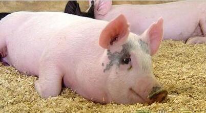 猪价连续上涨压栏利润增大!万一是屠企的局呢?