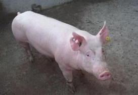 母猪不孕症的临床症状、诊断方法和防治措施