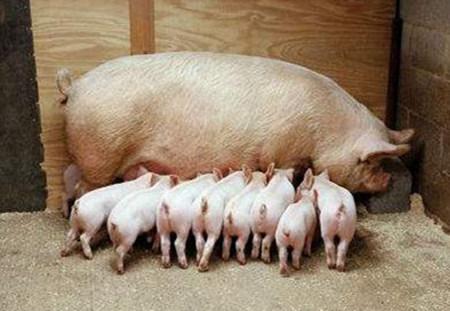母猪高产,需关注的几个关键阶段