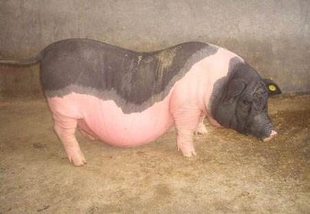影响母猪返情的几大因素,每一条都与猪场效益息息相关!