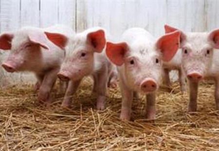 育肥猪在冬天有必要供暖吗?