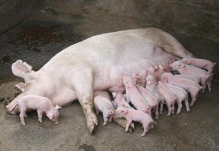 养猪场母猪无乳少乳,其七大表现您知道吗?