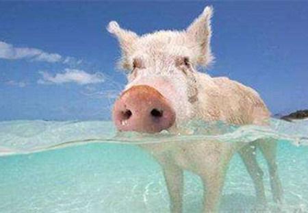 手把手来教您高温季节怎样保持猪的繁殖性能