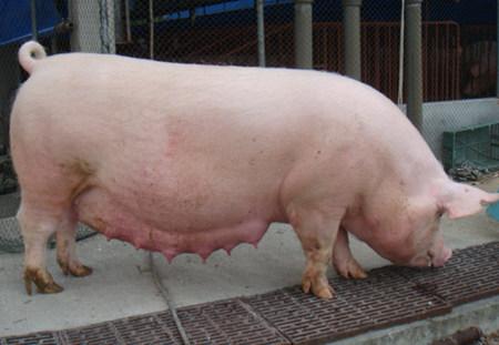 科技示范户如何提高能繁母猪的受胎率?
