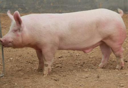 种公猪的饲料配方技术要点