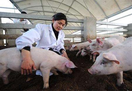 猪场进行人工受精该怎么操作以及相关细节问题
