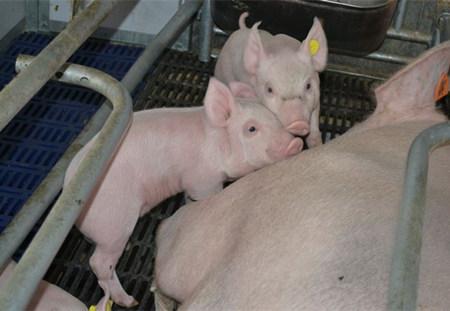 猪场如何来做好产房温湿度控制?