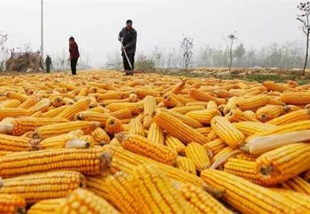 用粮企业采购转向国产 玉米市场稳步前行