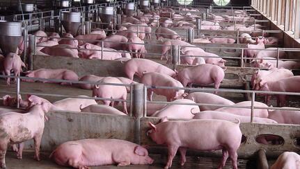 猪市利好缺乏,局部地区猪价现小幅回落之势
