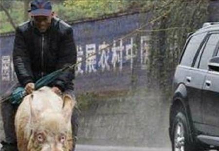 250公斤神猪背主人30年不疲惫, 老汉称骑它比乘汽车好百倍