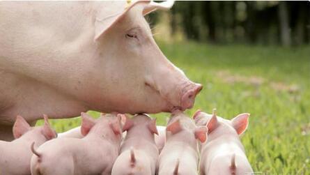 特种野猪配种与接产