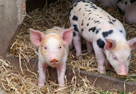 霉菌毒素对养猪的危害,一看吓一跳