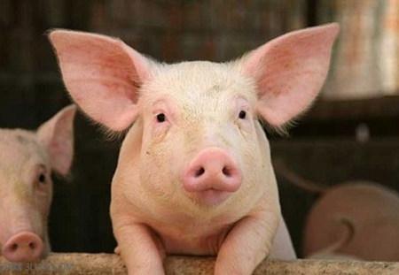 分析公猪精子活力低下的原因