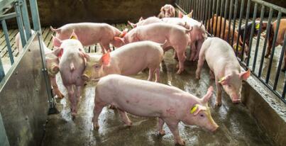 一周综述:猪价平稳回涨,大涨大跌的可能性均不大