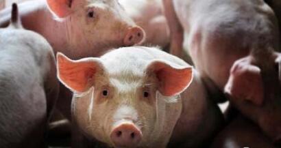 保育猪的饲养管理
