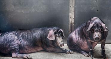 """我和丁磊养的猪""""睡""""了一夜,哎!人不如猪啊……"""