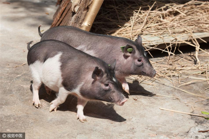 """3月27日,由华大基因通过克隆技术繁育的""""GHR克隆猪""""也在深圳野生动物园首次展出,这只猪十分""""迷你"""",它比普通的家猪个头儿小许多,据专家介绍,该猪成体体重也不过15公斤。"""