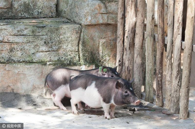 图为克隆猪。