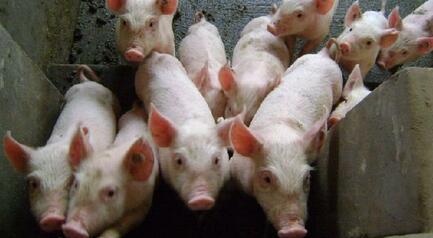 养猪人:4月份猪价即将回升 小猪价格有望上涨局势