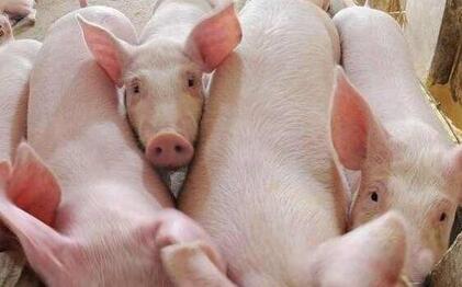 """猪群管理要有""""福利"""",猪群管理两方面"""