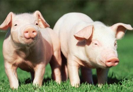 """养猪行业所谓""""逢节必涨"""" 清明节猪价会暴涨吗?"""