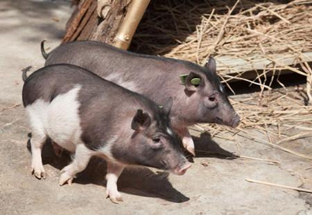 """村民致富靠养猪,生态猪成了脱贫""""香饽饽"""""""