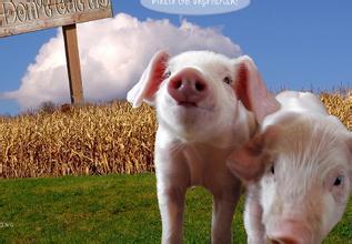 告诉你如何辨别猪种的好坏?