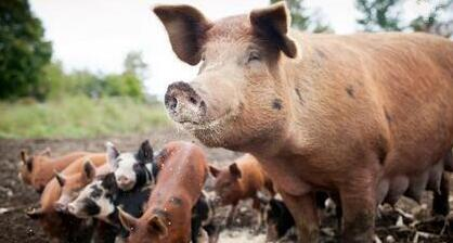 专家:2018年将现猪价拐点,届时或将跌破7元!