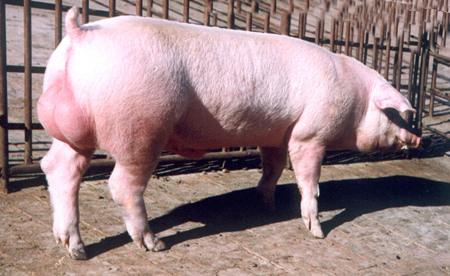 母猪怀孕后期水肿的原因及防治措施