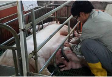吃好初乳,养好哺乳小猪