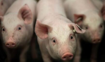 警惕!四月或将出现新一轮的牛猪大屠杀!