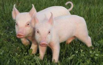 养猪场建设的禁忌有哪些?
