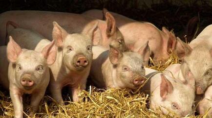 养猪场中猪发病的原因有几种?