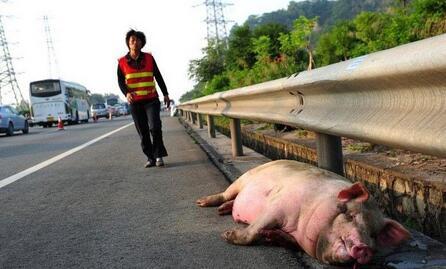 运猪车在高速公路上发生侧翻 一车30头猪死伤过半