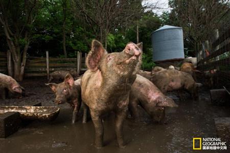 这年头猪粪比猪还宝贝,美国已经用上猪粪新能源发电!