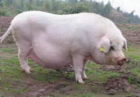 不怪母猪生的少 这些母猪选育、育种管理做到位了吗?