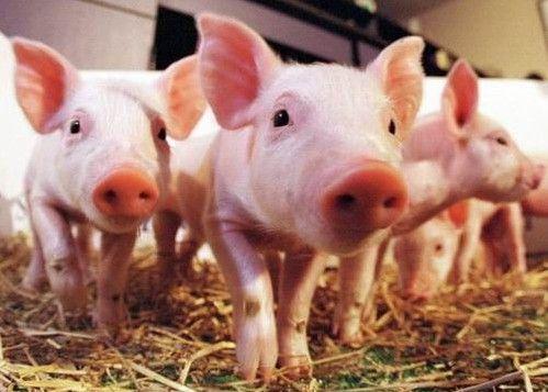 """猪""""感冒""""了怎么办?不重视可会出大事!"""