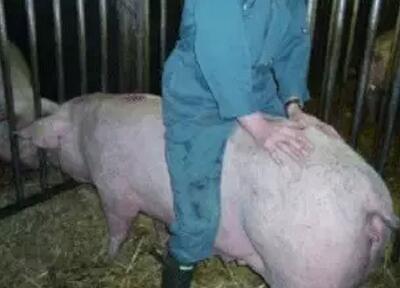 冬季猪场饲养管理应注意的事项