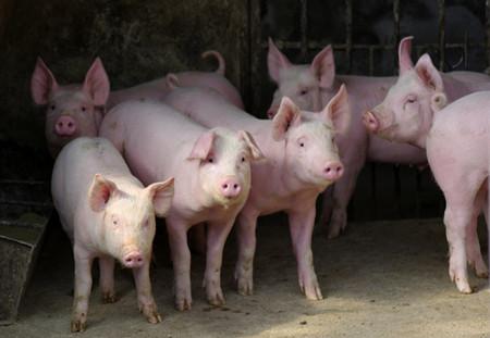 春季猪场的饲养管理,让您轻松赚大钱