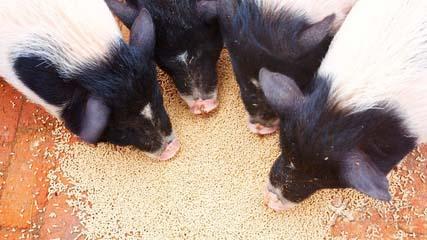 猪突然喜欢吃平时不吃的东西,到底是怎么了?