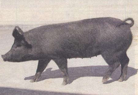 猪中毒之后的常见解救措施,效果挺好的