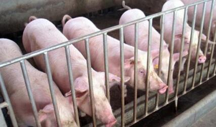 小型养猪场如何养好猪,应该从这六方面做起!