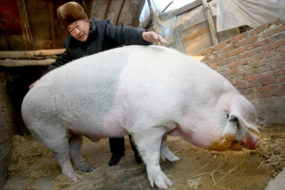 老兽医教你看症状,识猪病