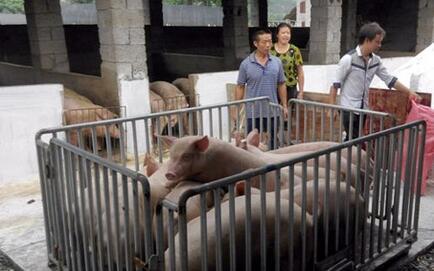 猪贩子非法改装称猪磅,偷去百头猪千余斤重量