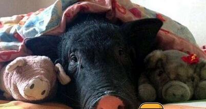 27岁的朱舟,她的宠物猪叫做五花,从五花还是一只小宠物猪开始,朱舟就