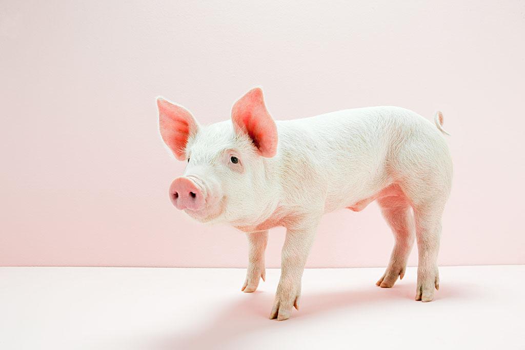2017年5月22日(20至30公斤)仔猪价格行情走势